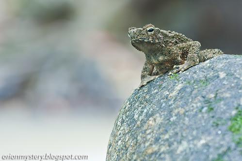 IMG_7770 copy River toad (Phrynoidis aspera)