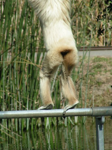 gibbon 4