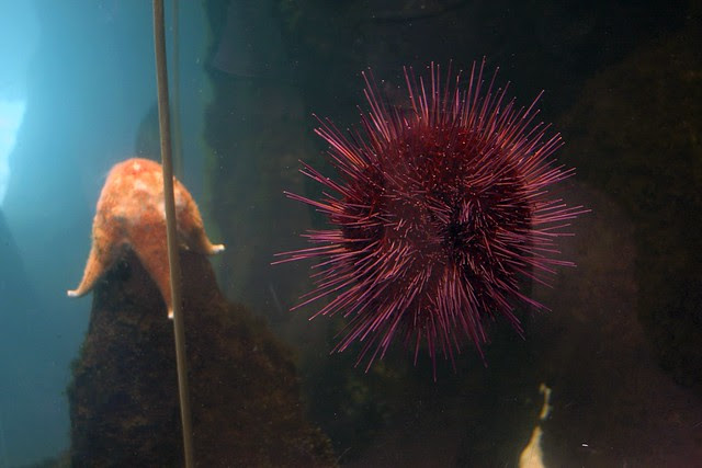 sea urchin, oregon zoo
