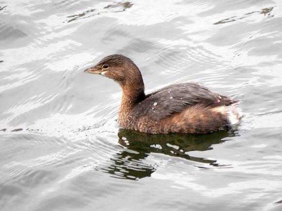 Ed Gaillard: birds &emdash; Pied-Billed Grebe, Central Park