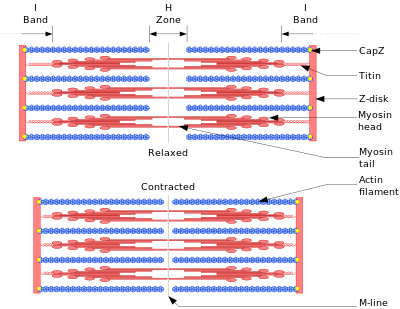 Diagram showing the muscle fibers in relaxed (above) and contracted (below) positions.