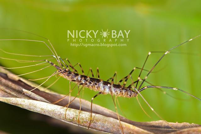 House Centipede (Scutigeridae) - DSC_5319