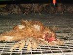Totes Huhn in einer Bodenhaltung