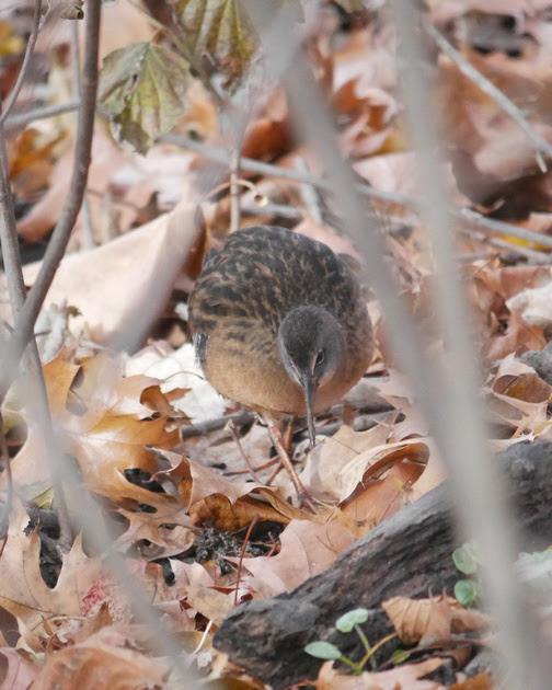 Ed Gaillard: birds &emdash; Virginia Rail, Central Park