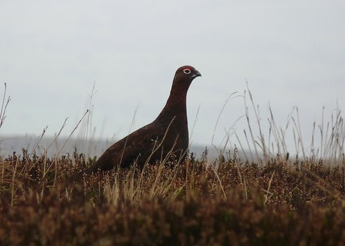 23701 - Red Grouse, Ilkley Moor