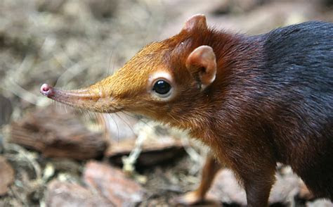 Elephant Shrew: A Short Eared, Long Nose Unusual Looking Animal