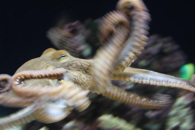 day octopus (octopus cyanea), waikiki aquarium