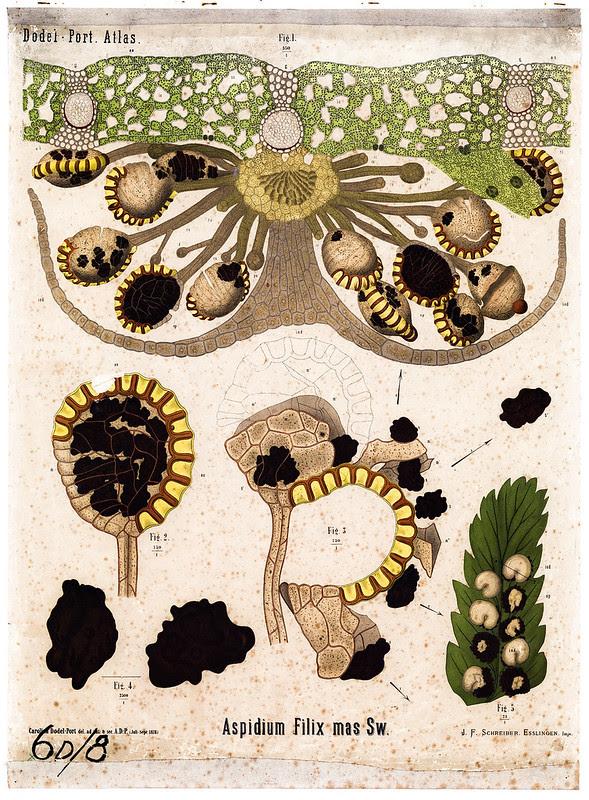 Aspidium filix Sporangia