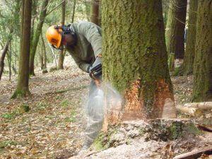 fakivágás döntéssel XVI. kerület Csömöri út