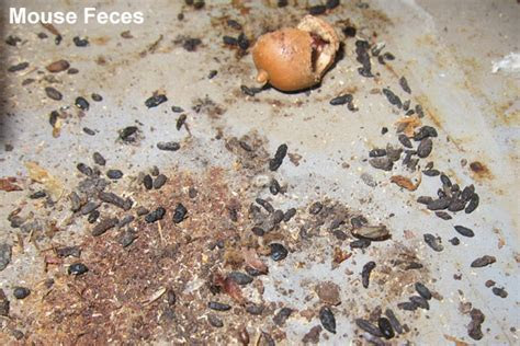 Pictures of Mouse Droppings, Feces