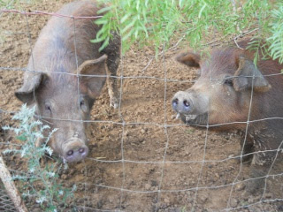 Pigs Bamm-Bamm and Pebbles