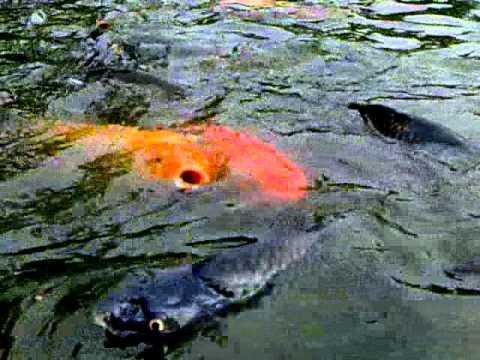 anak maupun orang sampaumur memancing merupakan salah satu acara yang menyenangkan Nah ! Umpan Mancing Ikan Mas Di Kolam Air Hijau Yang Jitu
