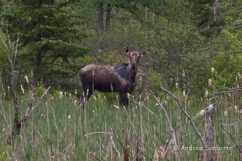 Moose in the Beaver Bog-14.jpg