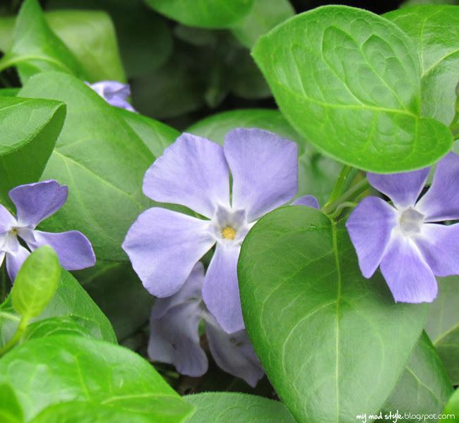 ohio 3purple flowers