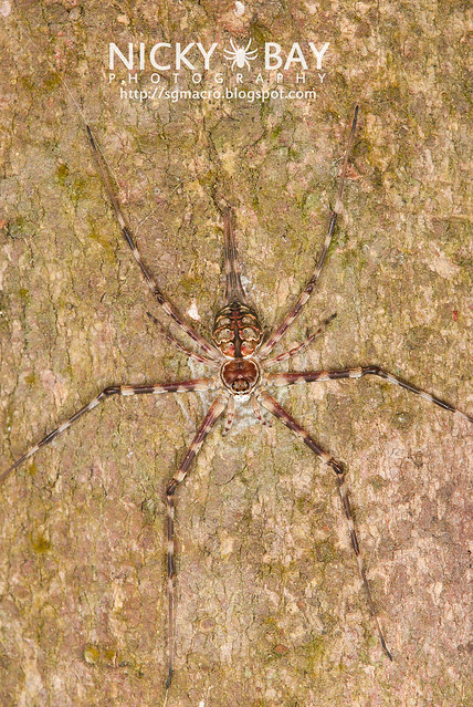 Two-tailed Spider (Hersilidae) - DSC_7496
