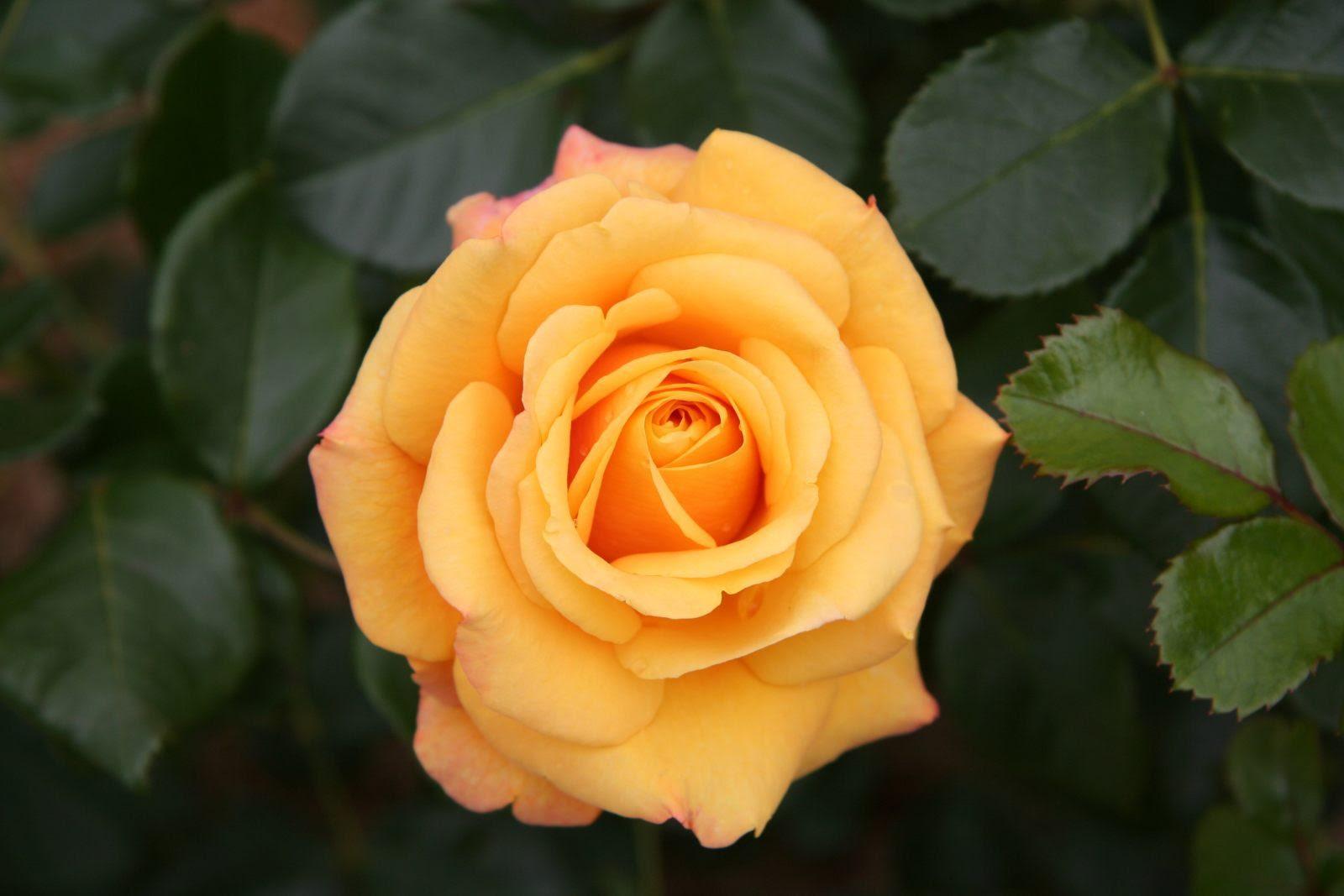 Preciosa Rosa Amarilla Imágenes Y Fotos