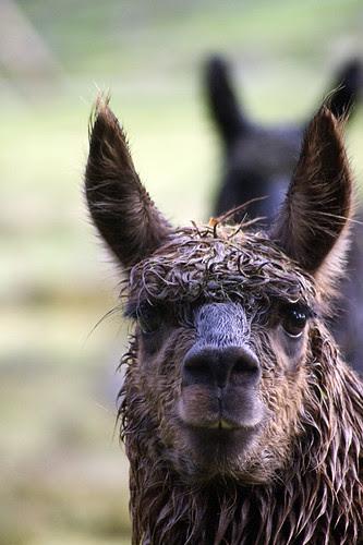 disheveled alpacas