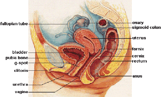 Membuat Wanita Mencapai Klimaks, Ketahui Lebih Dalam Tentang Klitoris oleh - caracepathamil.online