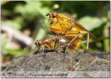 Scathophaga_stercoraria_P4059