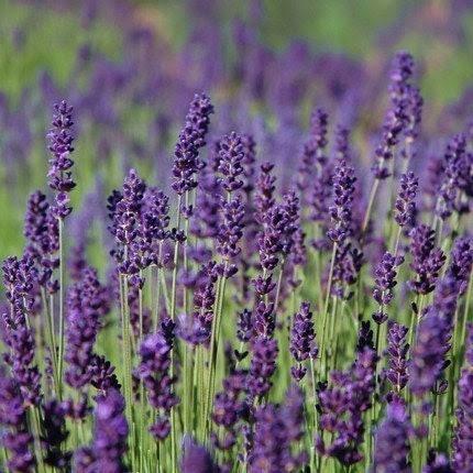 Heirloom Lavender Seeds Hidcote Blue English Perennial Herb