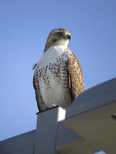IMG_0460cps Hawk