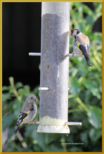 Adult and Juvenile Goldfinches