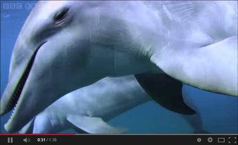 Dolphins purposely 'getting high' on pufferfish