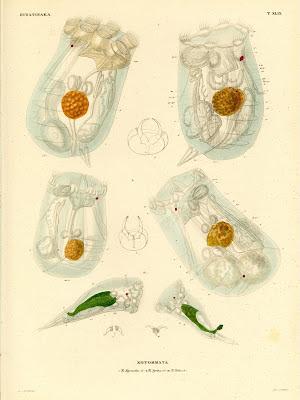 Hydatinaea, Notommata
