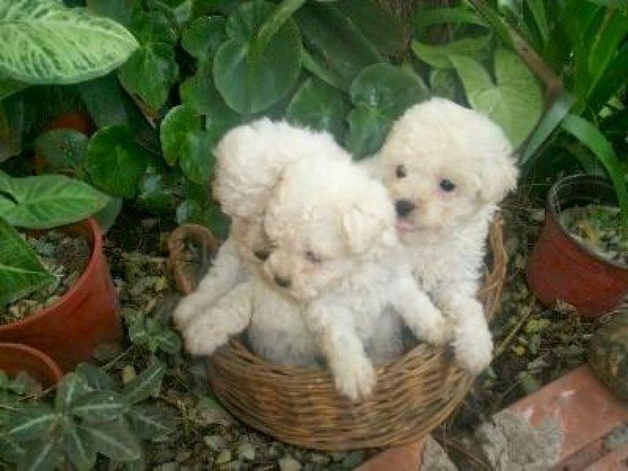 Perrospoodles O French Poodle C Mascotas