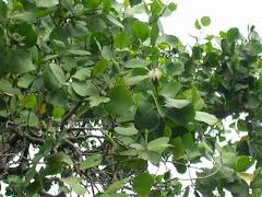 Sonneratia alba