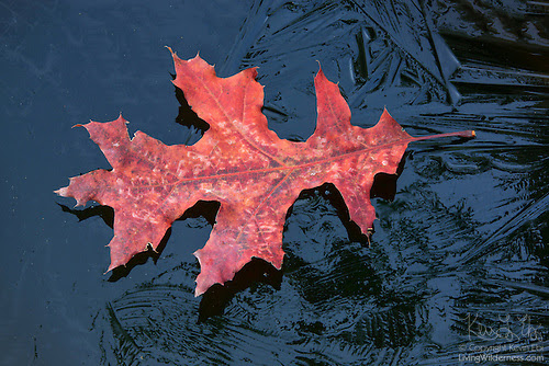 Oak Leaf Floating on Frozen Pond, Snohomish County, Washington