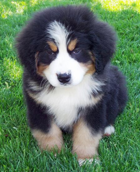 Bernese Mountain Dog Puppy Training House Training A