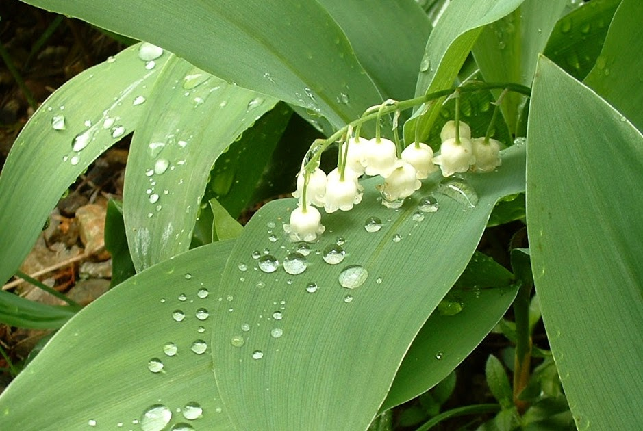 Lily of the Valley – mystery, manufacture & murder