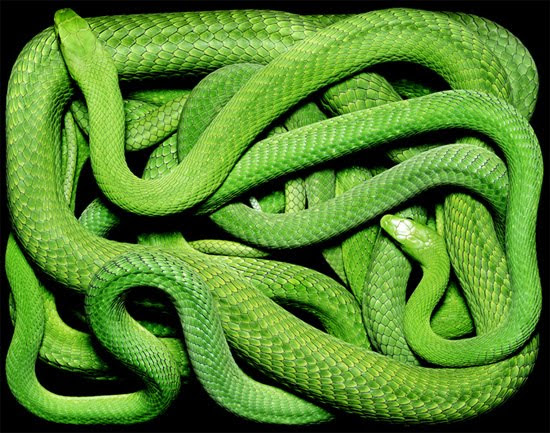 green snake The Most Dangres Snakes In The World