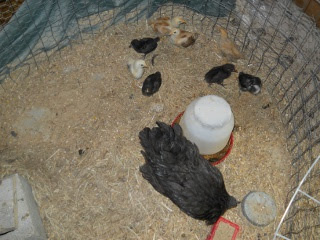 New Chicks 2012 Eighth Hatching