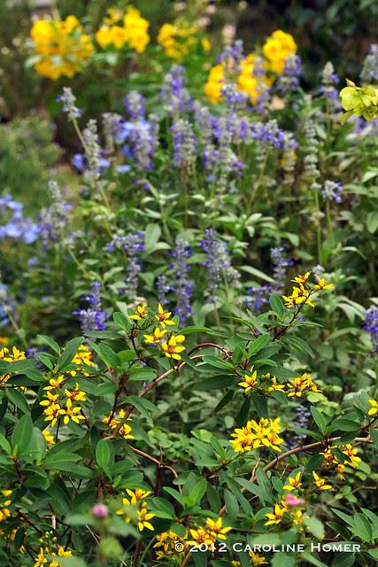 Thyrallis, Mealy Blue Sage, Esperanza