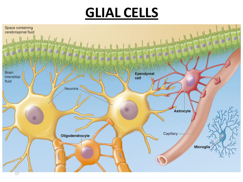 Glial Cells Play Key Role in Regulating Motivation for Drug in Heroin Addiction
