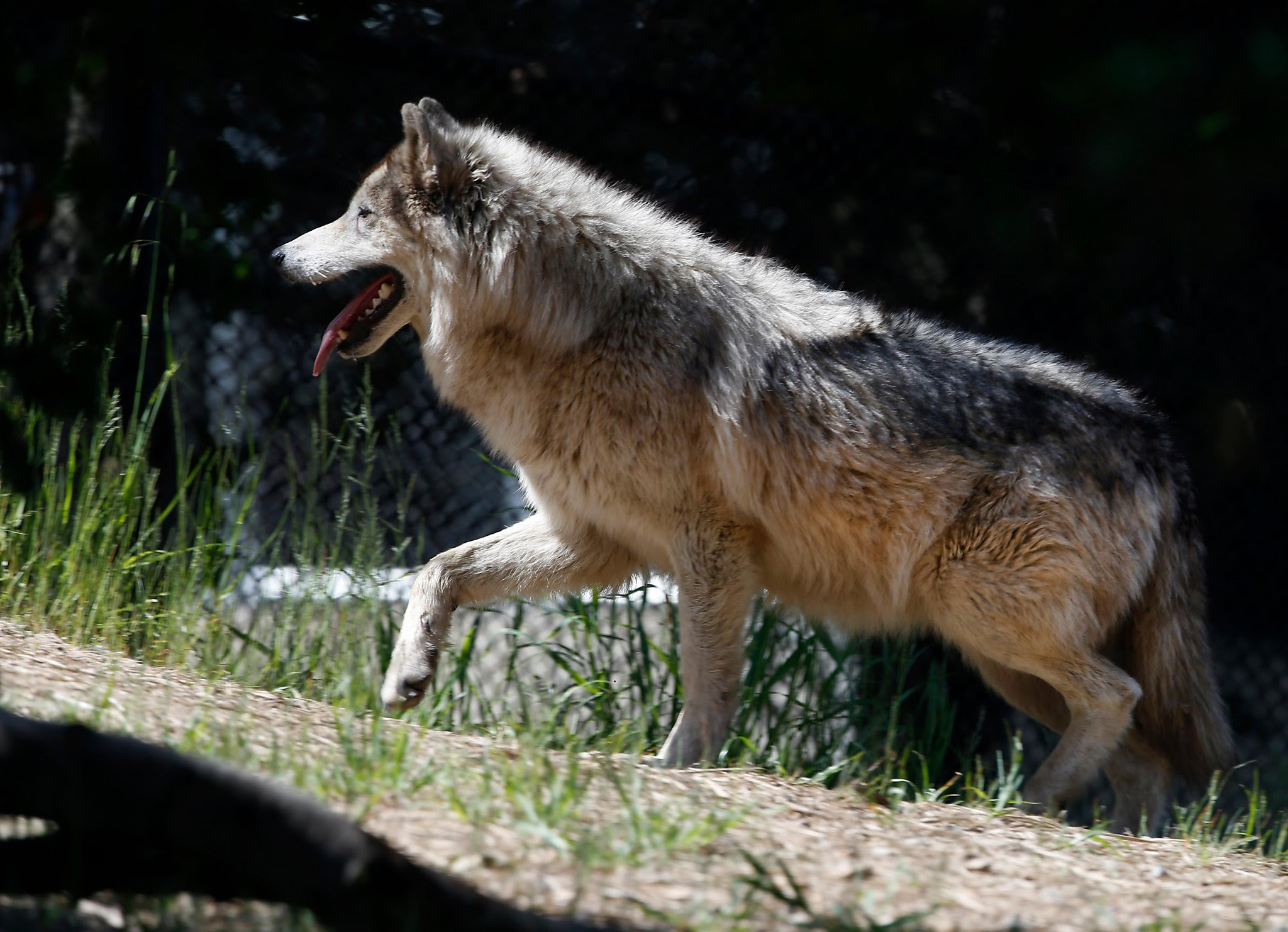Wolves In Northern California Arent Just Loping Through