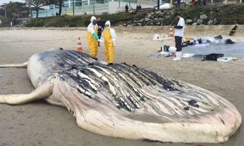 Baleia jubarte é encontrada morta em praia paranaense