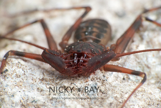 Tailless Whip Scorpion (Amblypygi) - DSC_5791
