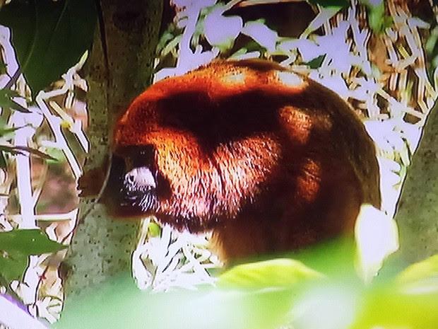 Macaco macho da raça 'bugio' está atacando moradores de Cordeiro, na Serra do Rio (Foto: Reprodução / Inter TV)
