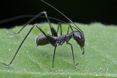 Ant mimic katydid nymph.............IMG_3564 copy