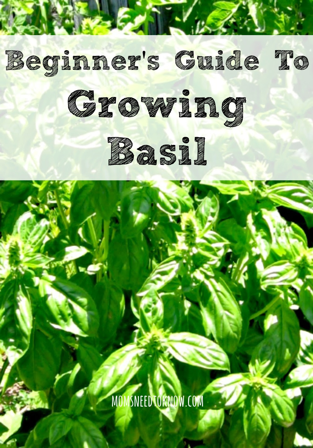 A Beginner's Guide To Growing Basil | Moms Need To Know
