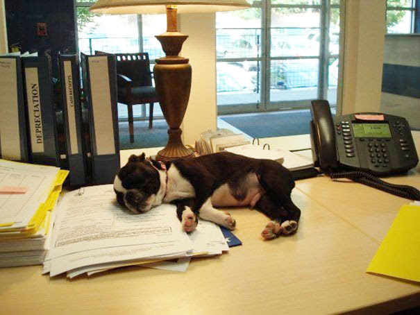 Boston Terrier Puppy At The Office From Atlanta, Georgia, Usa