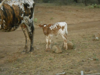 New Longhorn Heifer Calf Cora