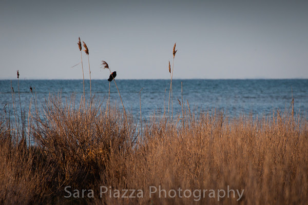 Sara Piazza Photography, Edgartown News, red-winged blackbird