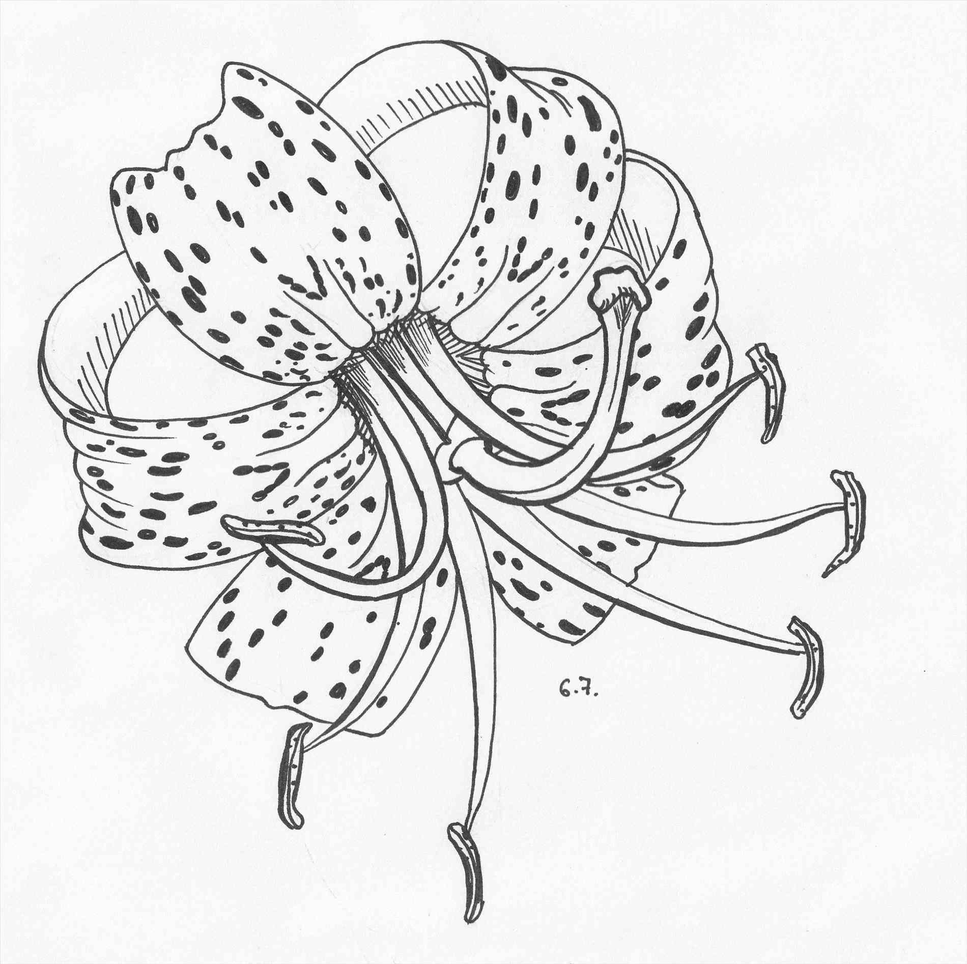 Tiger Lily Flower Drawing at GetDrawings | Free download