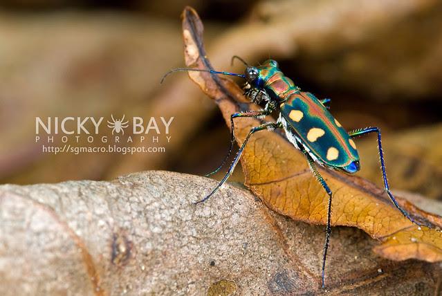Tiger Beetle (Cicindelinae) - DSC_7033
