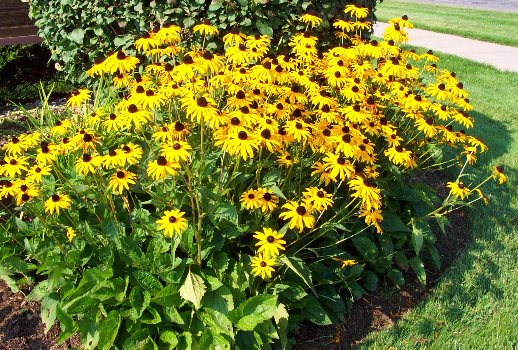 How To Grow Black Eyed Susan Plants By Garden Hobbies