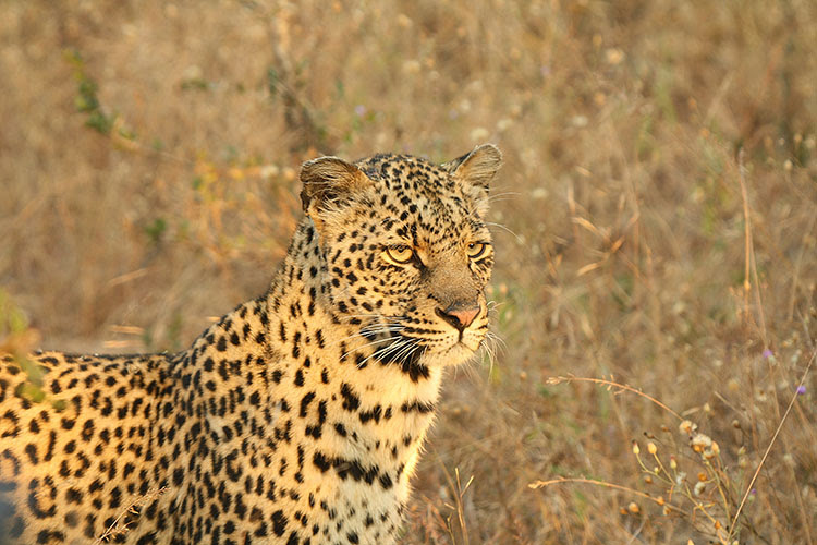 Shadow A Leopard That Has Killed Lost And Loved Arathusa Safari